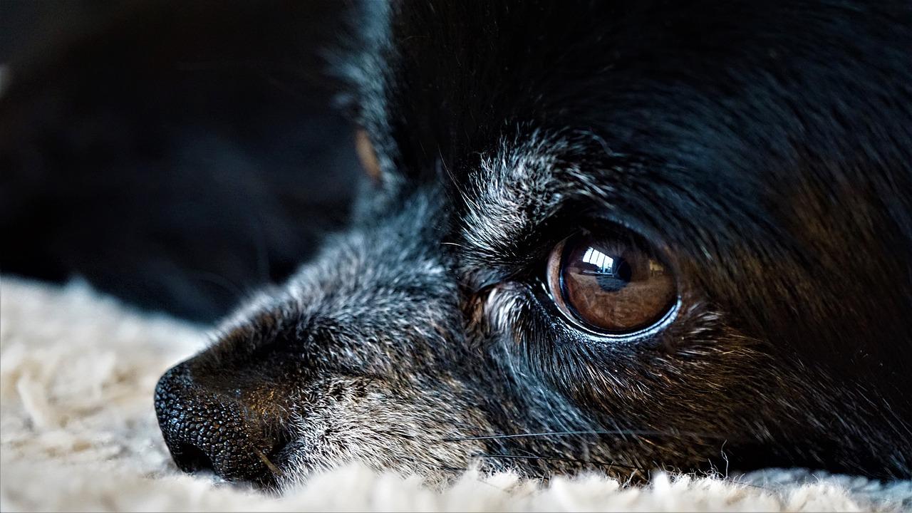 犬の目が白く濁ってきた!?犬の白内障の症状とそれに有効な治療法