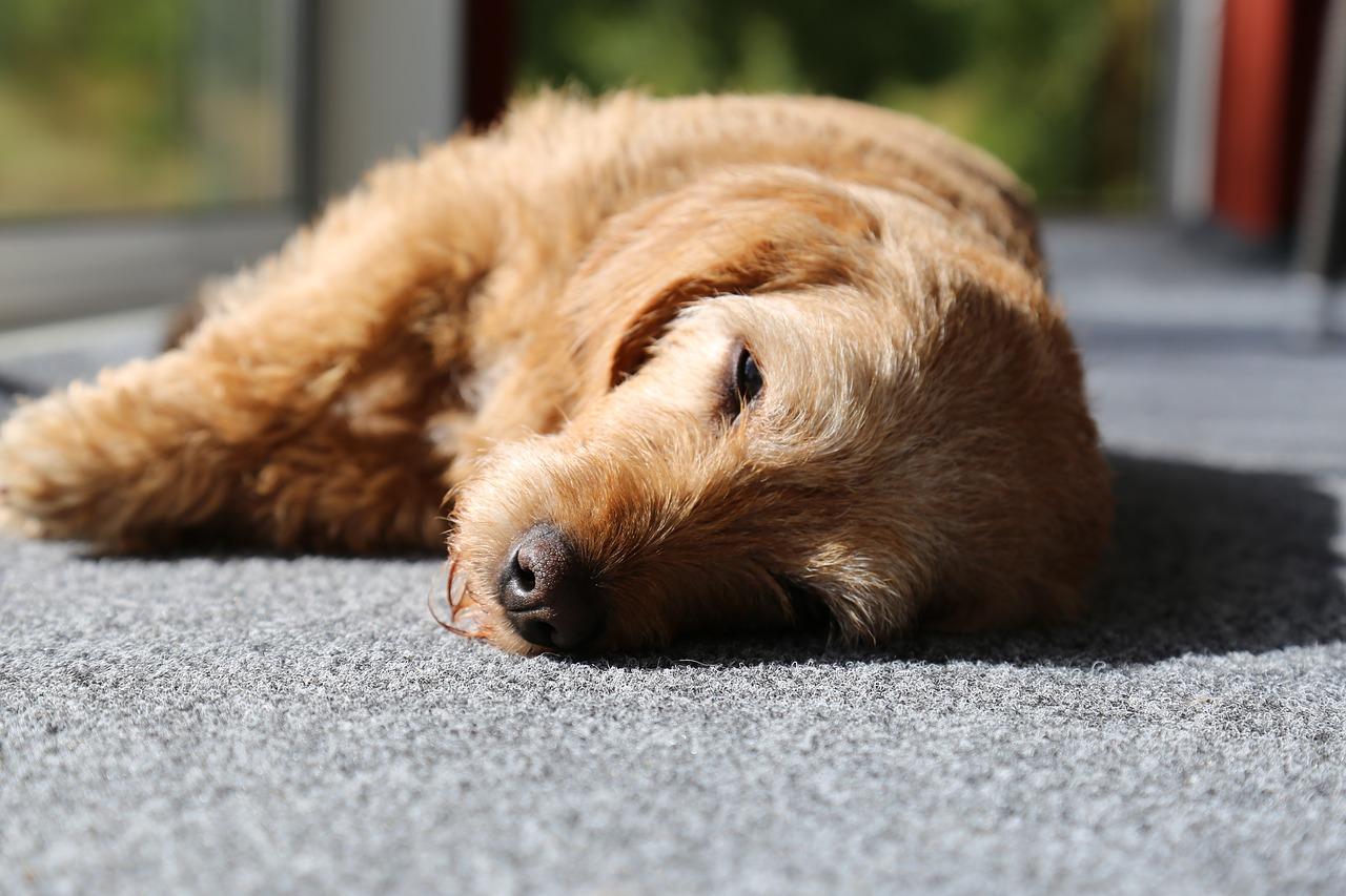 犬が痙攣し始めた!犬が痙攣を引き起こす原因とその対処法!