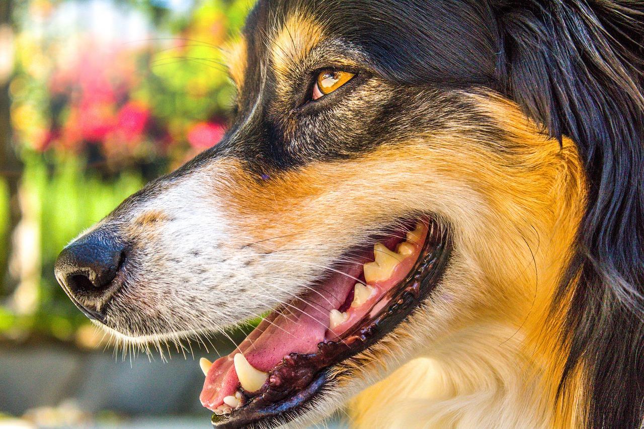 犬の虫歯の放置は病気に繋がる可能性大!そのケアの仕方を紹介