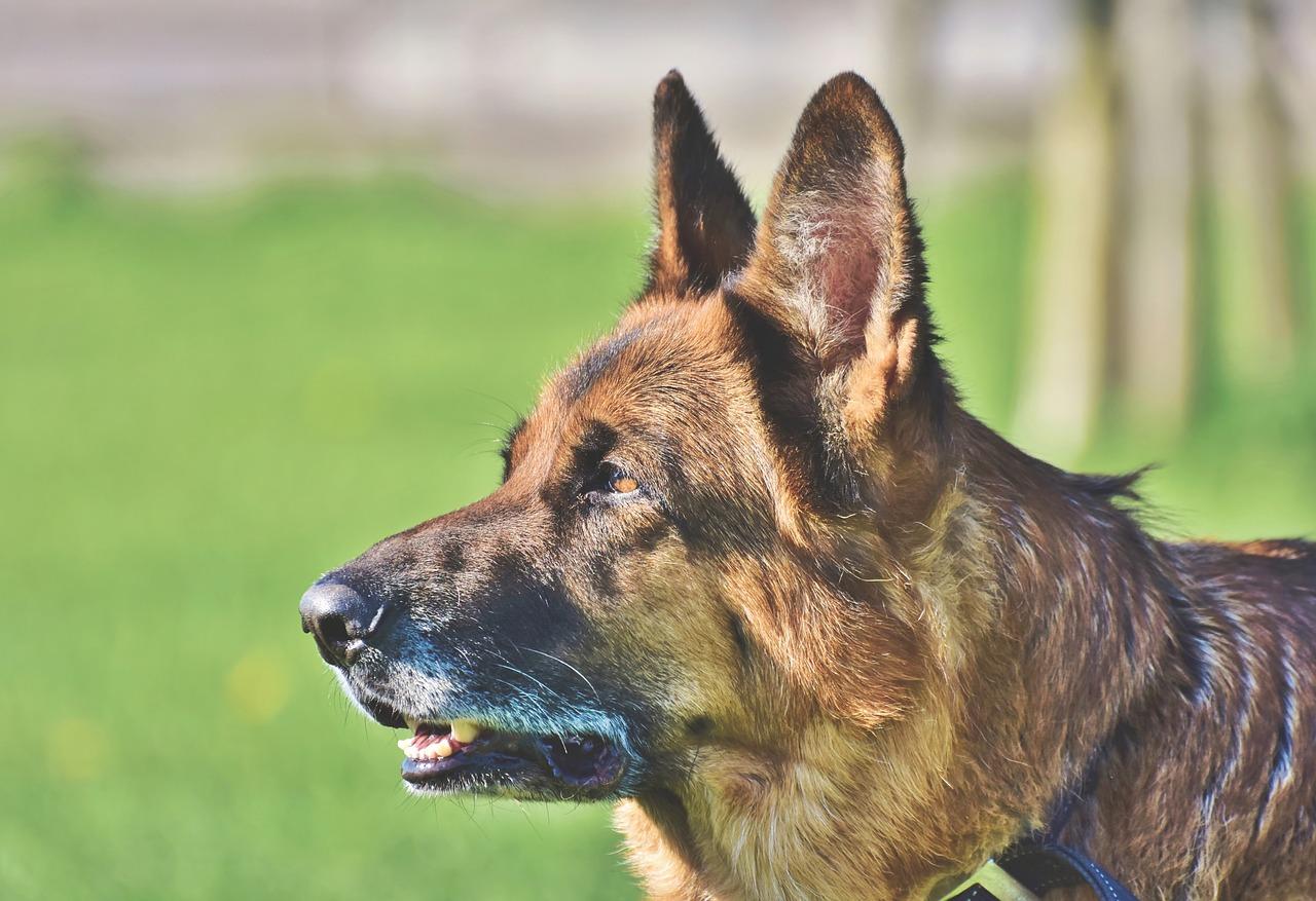 【飼い主必見!】犬が嫌がらない耳掃除の仕方を徹底解説!