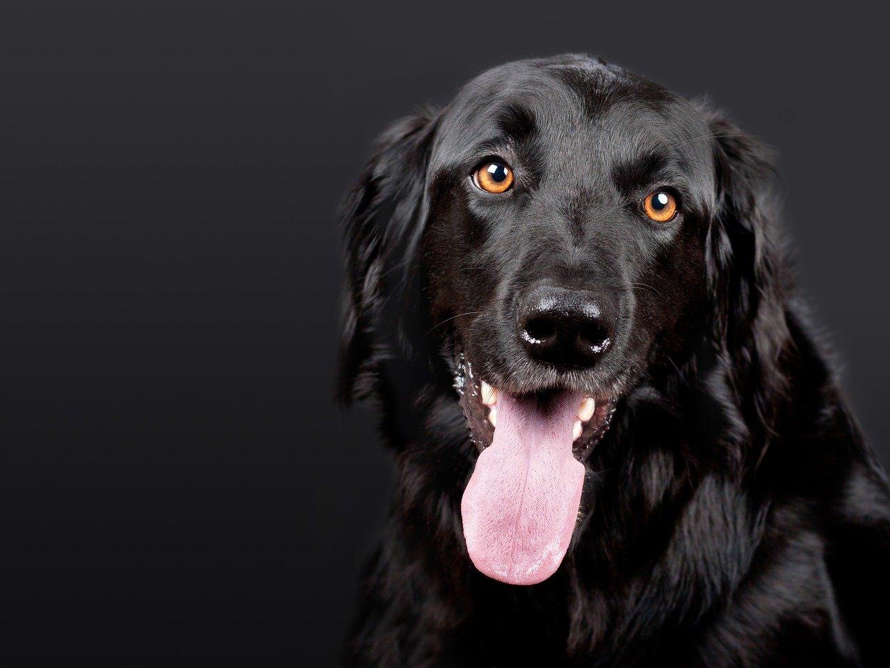 舌を出している黒い犬