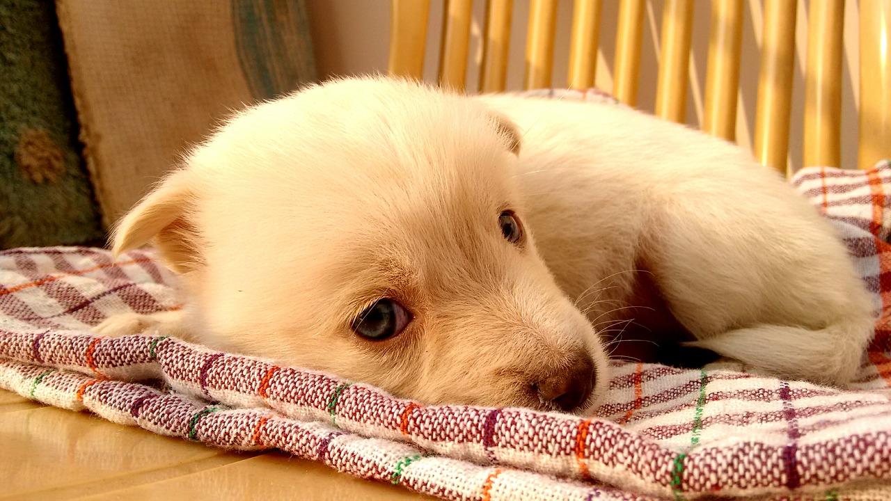 毛布で寝ようとする子犬