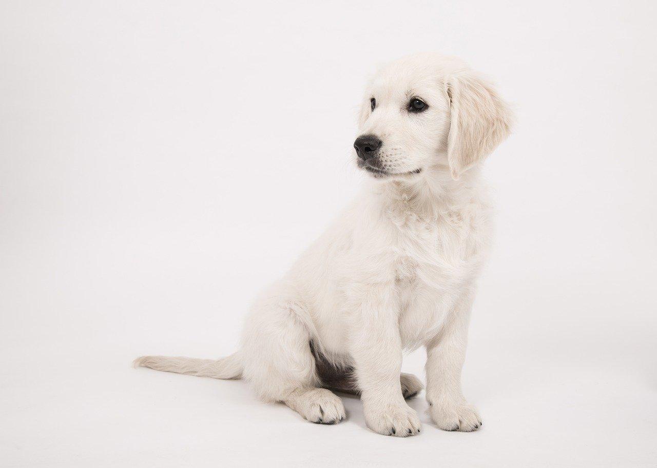 お座りをして遠くを見つめる子犬のゴールデンレトリーバー