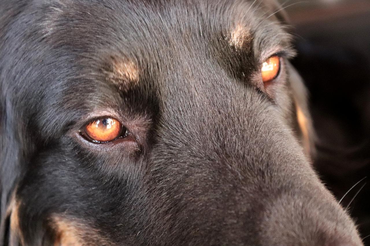 目が赤い黒い犬