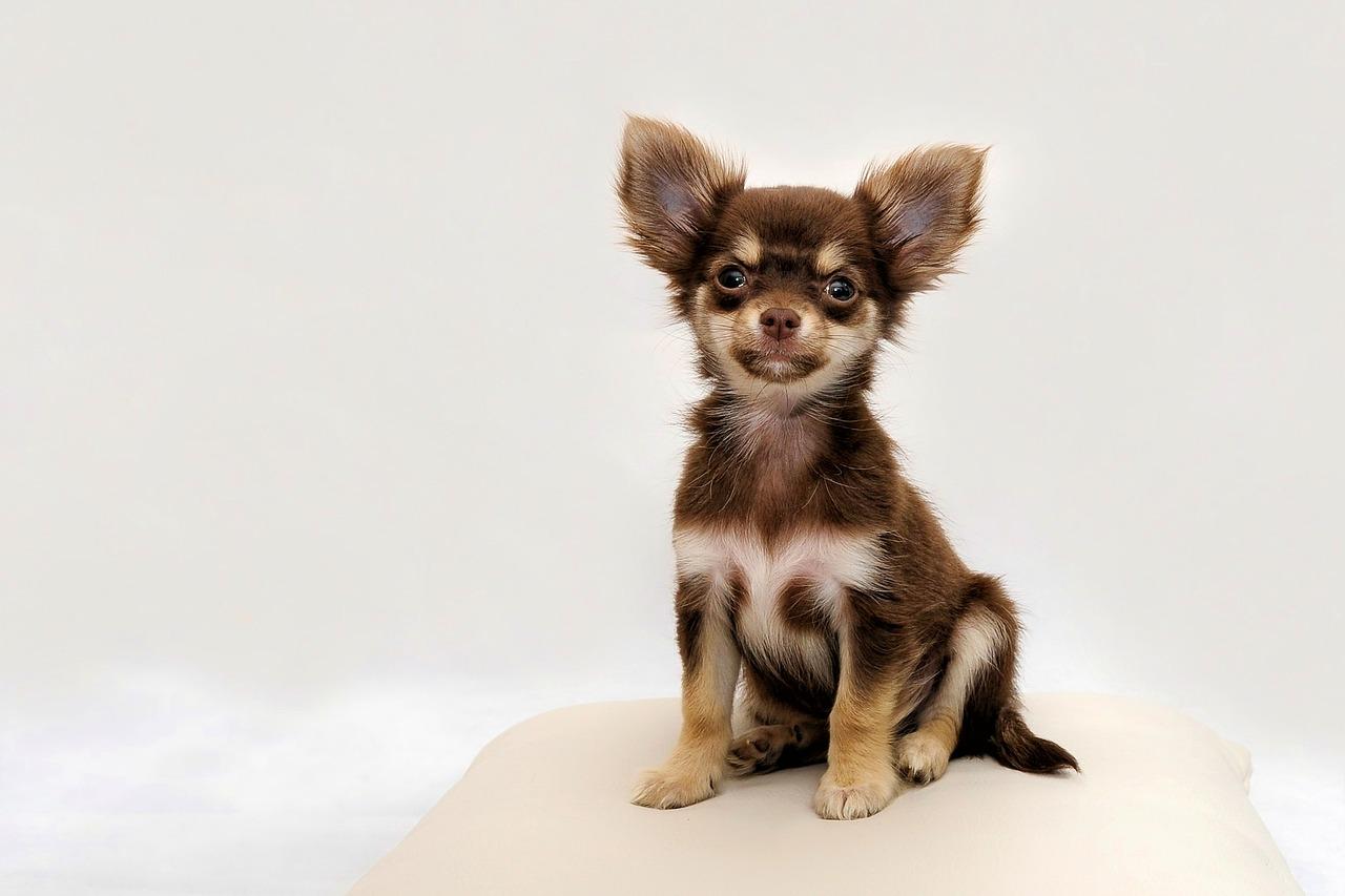 お座りしてこちらを見る子犬のチワワ