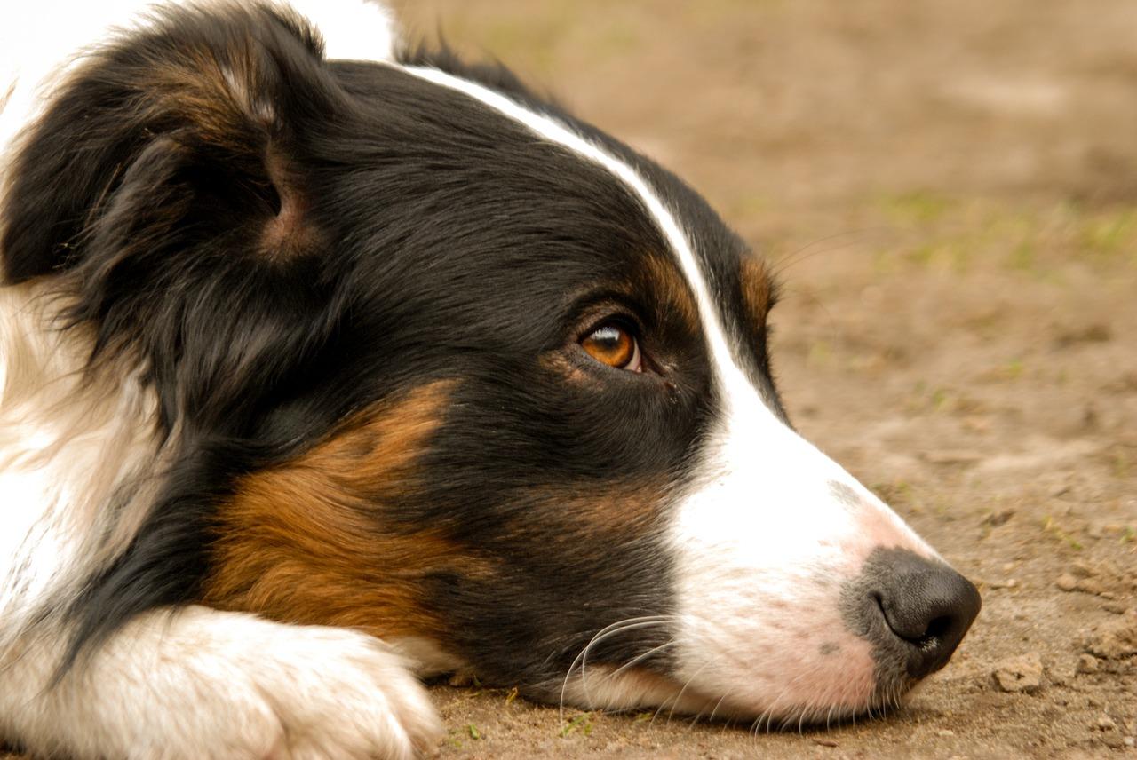 うつ伏せで考え事をする犬