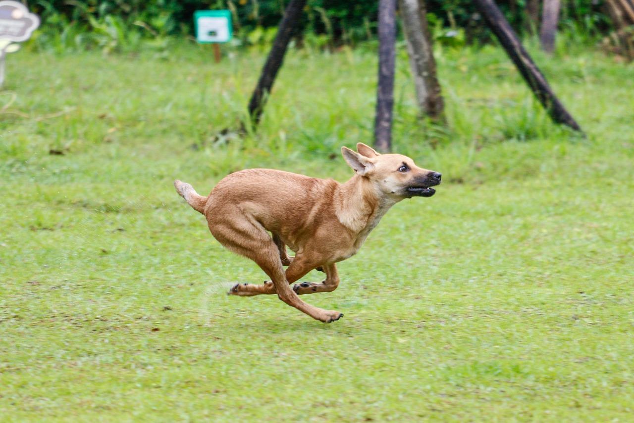 全速力で走る犬
