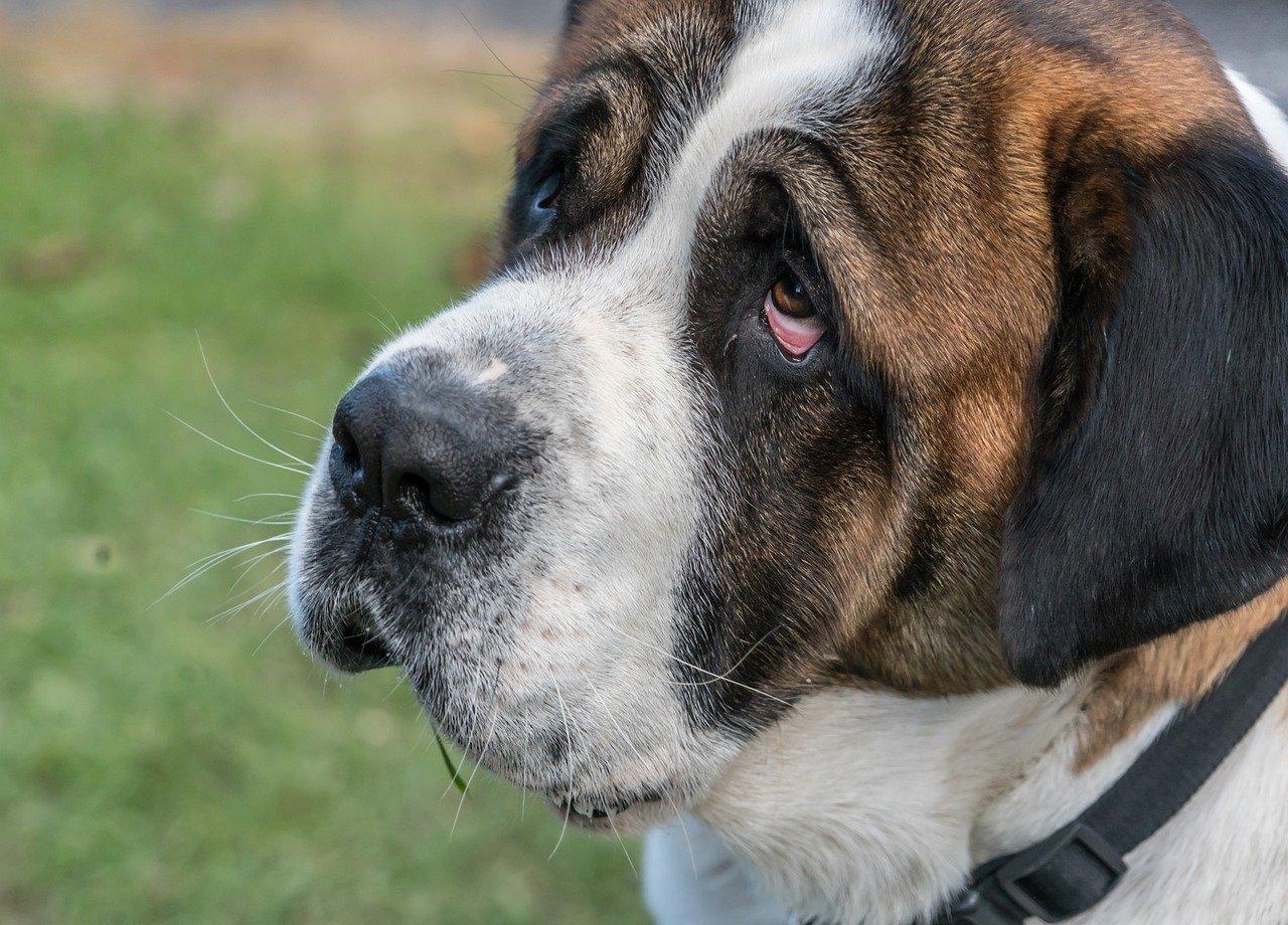 目が充血した犬