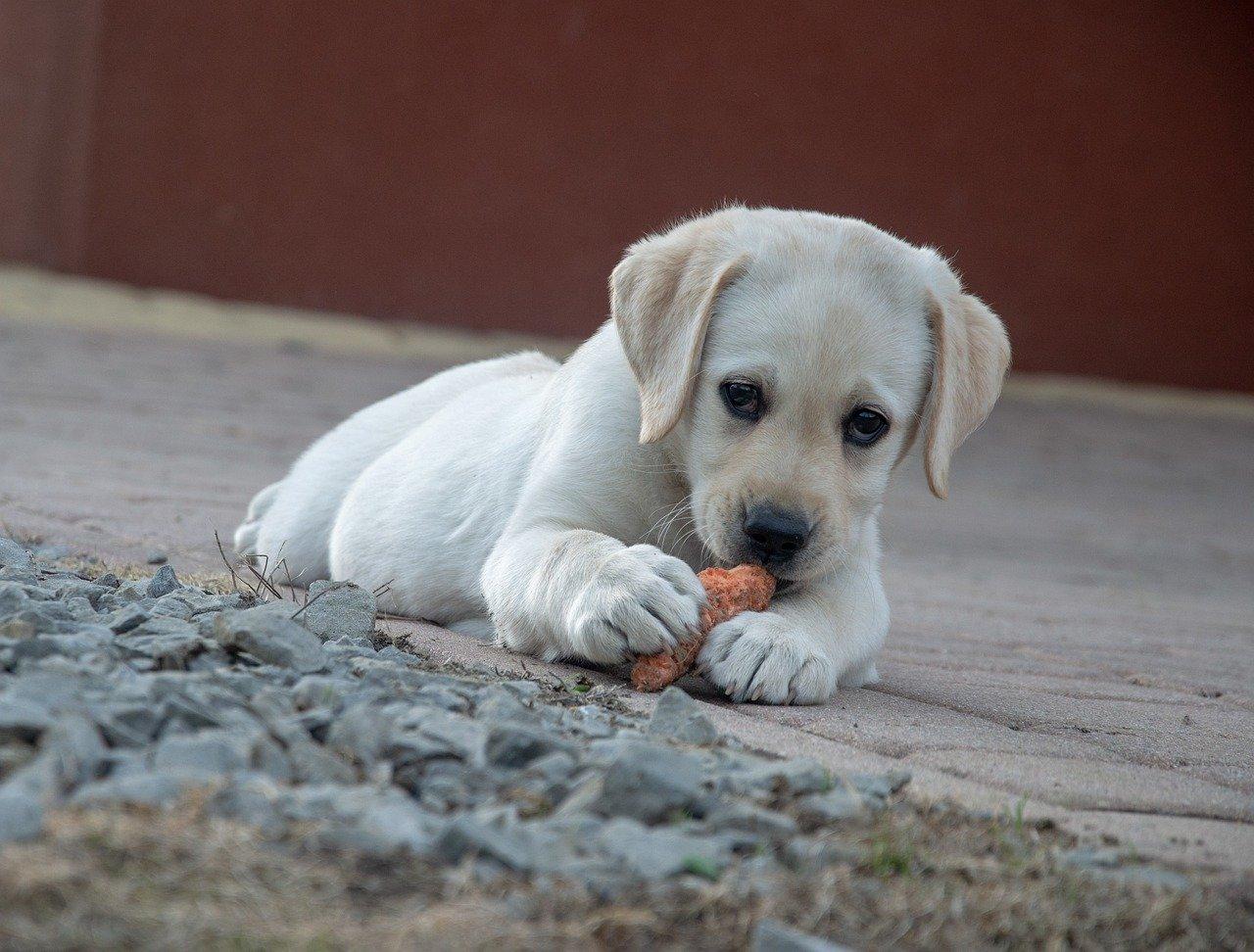 にんじんを食べる子犬