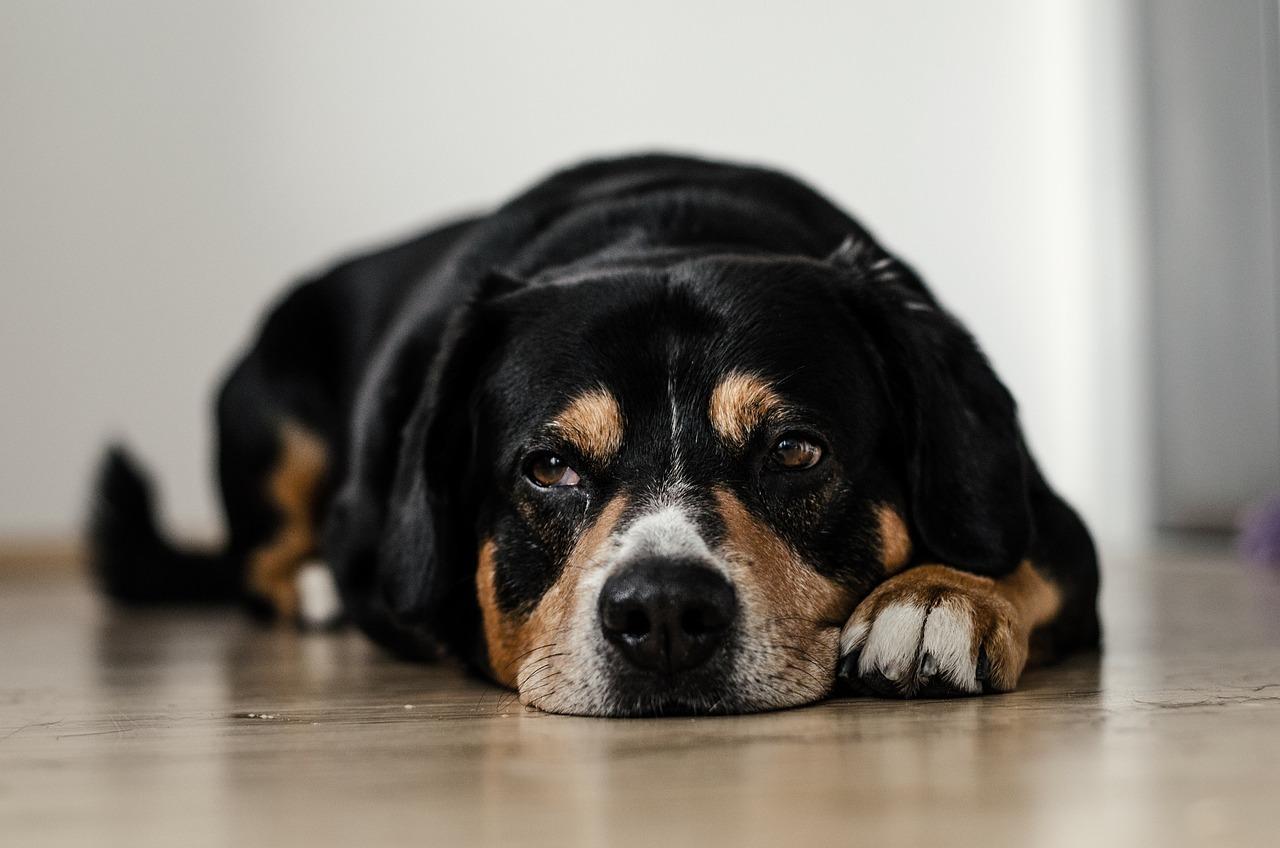 床に体をつけ退屈そうにする犬