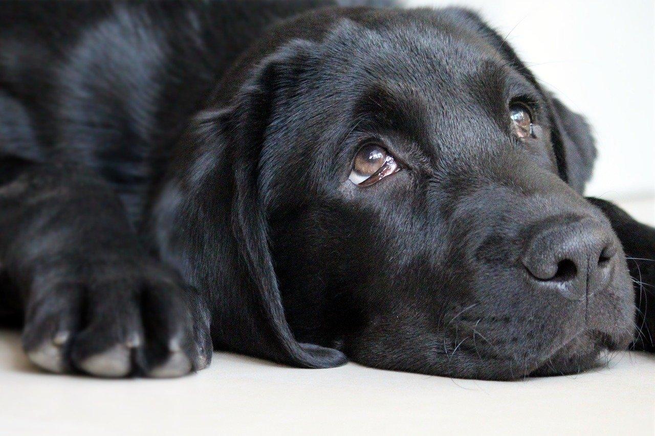 うつ伏せで目を上に向けた黒い犬